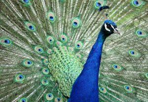 peacock-1440140_1920